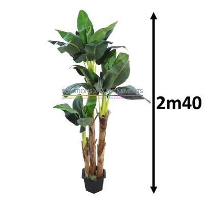 Bananier 3 pieds 2m40